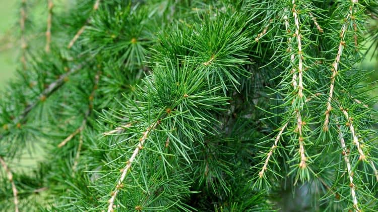 survival uses for cedar